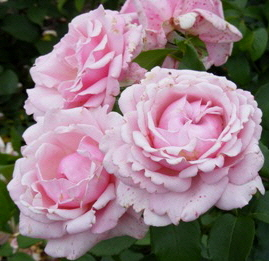 Memorial-Day-Hybrid-Tea-Rose-by-Midwest Gardening.jpg