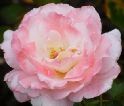 Secret-Hybrid-Tea-Rose-by-Midwest Gardening.jpg