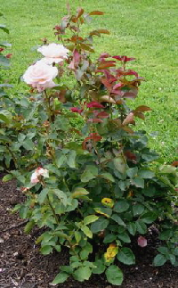 Secret-Hybrid-Tea-rose-shrub-by-Midwest Gardening.jpg