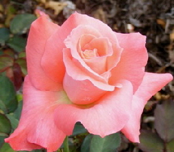 Touch-of-Class-Hybrid-Tea-Rose-bloom-by Midwest Gardening.jpg