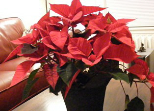Red Poinsettia by Midwest Gardening.jpg