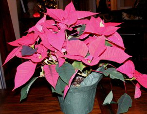 Pink Poinsettia by Midwest Gardening.jpg