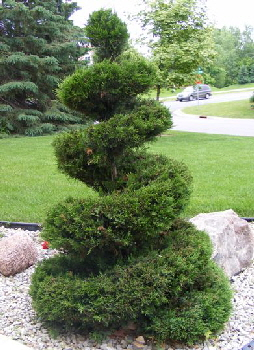 Juniperus-chinensis--Monlep--Mint-Julep-Juniper-topiary byy Midwest Gardening.jpg