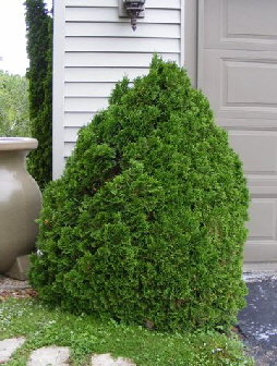 Thuja-occidentalis--Holmstrup- by Midwest Gardening.jpg
