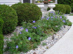 Cranesbill--Johnson-Blue-by Midwest Gardening.jpg