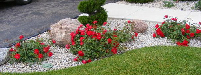 Red-Ribbons-ground-cover-rose by Midwest Gardening.jpg