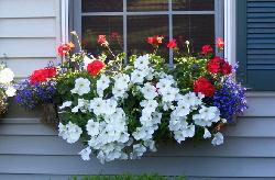 Front-window-box-geranium--petunia--lobelia by Midwest Gardening.jpg