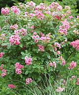 Rugosa-Pink-Grootendorst-shrub.jpg