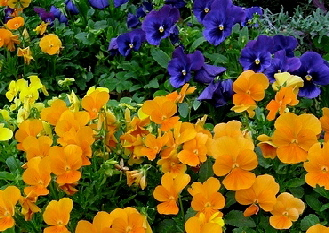 Pansies-by-Jeff-Stvan.jpg