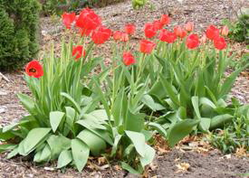 Tulips-by-Midwest Gardening.jpg