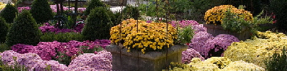 Fall-mum-blooms-by-sarae.jpg