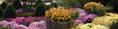 Fall-mum-blooms-by-sarae.jpg
