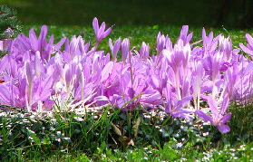 Autumn-Crocus-by-garden-beth.jpg