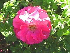 David-Thompson-Canadian-Explorer-rose.jpg