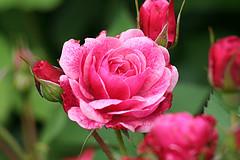 Morden_Ruby_Canadian_Parkland_bloom.jpg