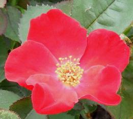 Home-Run-shrub-rose-bloom-by Midwest Gardening.jpg