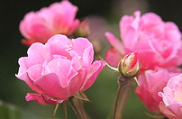 La-Mame-Polyantha-rose.jpg