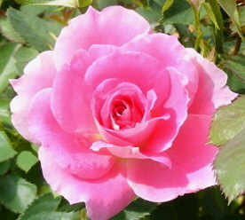 Carefree-Wonder-Meilland-Shrub-Rose-bloom-by-Midwest Gardening.jpg