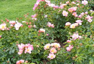 Species-Wild-Apple-Rose-Rosa-pomifera-shrub-by-Midwest Gardening.jpg