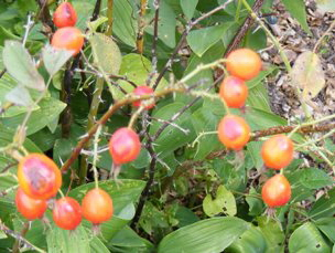 Rosa-pomifera-Species-Wild-Apple-Rose-hips1.jpg