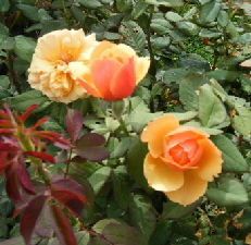 About-Face-Grandiflora-Rose-blooms-by-Midwest Gardening.jpg
