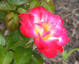 Dick-Clark-Grandiflora-Rose-bloom-by-by Midwest Gardening.jpg
