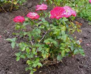 Dick-Clark-Grandiflora-Rose-shrub-by Midwest Gardening.jpg