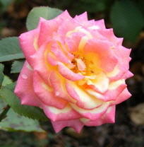 Dream-Come-True-Grandiflora-Rose-2-by-by Midwest Gardening.jpg