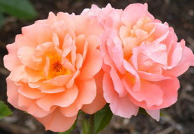 Sweet-Fragrance-Grandiflora-Rose-blooms-by Midwest Gardening.jpg