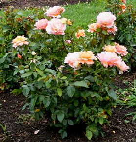 Sweet-Fragrance-Grandiflora-Rose-shrub-by Midwest Gardening.jpg