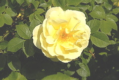 Rugosa-Rose-Topaz-Jewel.jpg