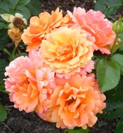 Easy-Does-It-Floribunda-Rose-blooms-by Midwest Gardening