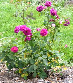 Ebb-Tide-Floribunda-rose-bush-by-the-Midwest Gardening.jpg