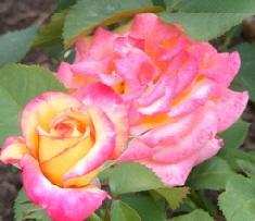 Mardi-Gras-Floribunda-Rose-blooms-by-Midwest Gardening.jpg