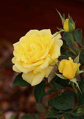 Sunsprite-floribunda-bloom.jpg
