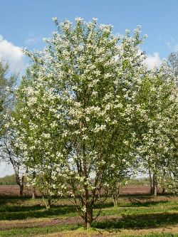 Prunus Mackii.jpg