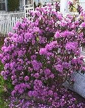 Rhododendron PJM.jpg