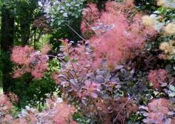 Smokebush in bloom by Midwest Gardening
