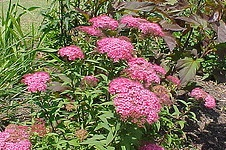 'Anthony Waterer' Spirea.jpg