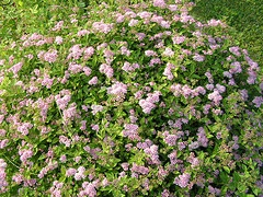 Little Princess Spirea.jpg