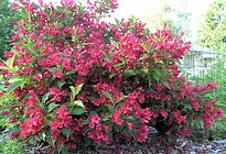 Weigela Red Prince.jpg