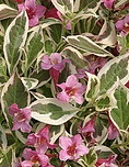 Weigela My Monet.jpg
