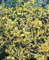 Blondy Wintercreeper Euonymus.jpg