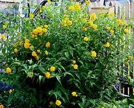 Kerria Japonica Yellow.jpg
