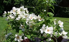 Philadelphus Mock Orange.jpg