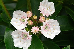 Kalmia 'Elf' blooms by James Gaither.jpg