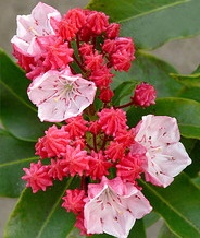 Kalmia 'Olympic Fire' by James Gaither.jpg