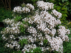 Kalmia latifolia 'Elf' by James Gaither.jpg