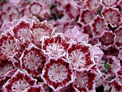 Kalmia 'Olympic Wedding' or 'Bullseye'.jpg