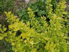 Physocarpus opulifolius 'Dart's Gold' Ninebark.jpg